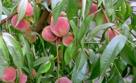 Как посадить персик в домашних условиях 370