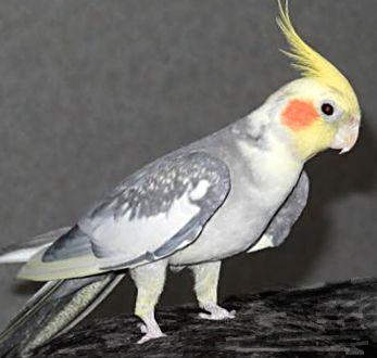 Вот такие они, попугаи корелла, описание