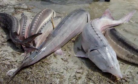 Виды осетровых рыб, особенности