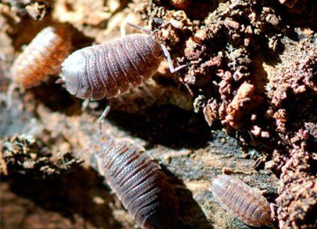 Мокрица насекомые, в жизни и в квартире