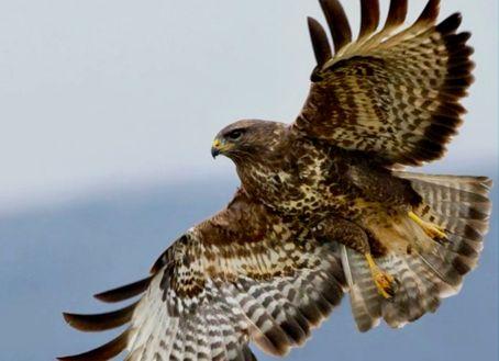 Класс птицы — хищные птицы